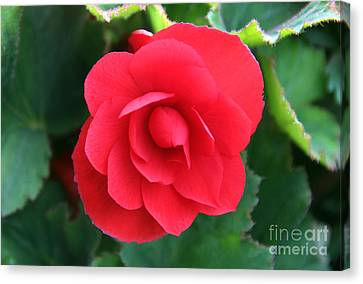 Red Begonia Canvas Print by Sergey Lukashin