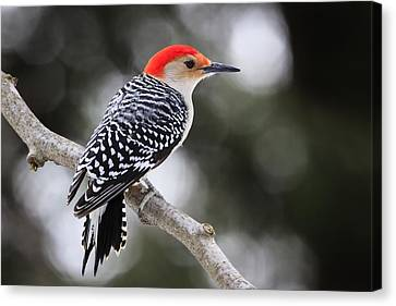 Red-bellied Woodpecker Canvas Print by Gary Hall