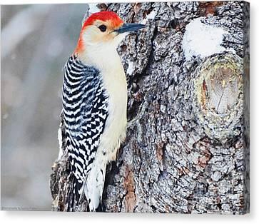 Red Bellied Woodpecker Canvas Print by Gena Weiser