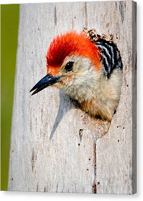 Red-bellied Woodpecker II Canvas Print by William Beuther