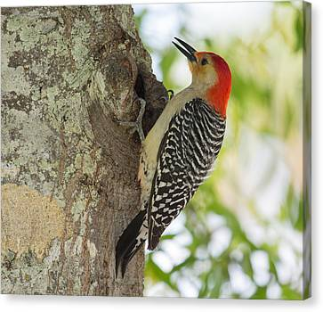 Red-bellied Woodpecker Canvas Print by John M Bailey