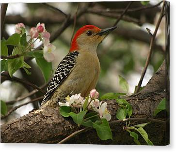 Canvas Print featuring the photograph Red-bellied Woodpecker by James Peterson