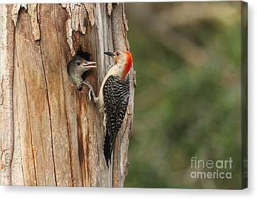 Red-bellied Woodpecker With Chick Canvas Print by Jennifer Zelik