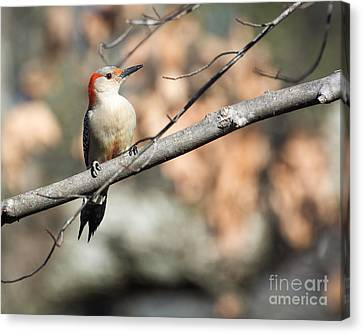 Red Belly Canvas Print by Caisues Photography