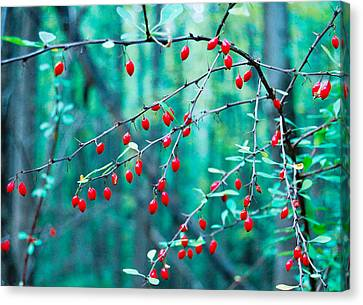 Red Berries In October Canvas Print