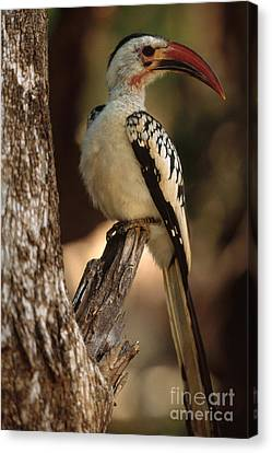 Hornbill Canvas Print - Red-billed Hornbill by Art Wolfe
