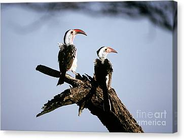 Hornbill Canvas Print - Red-billed Hornbills by Art Wolfe