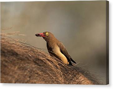 Red-billed Ox-pecker With Tick In Bill Canvas Print by Tony Camacho
