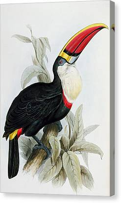 Red-billed Toucan Canvas Print by Edward Lear
