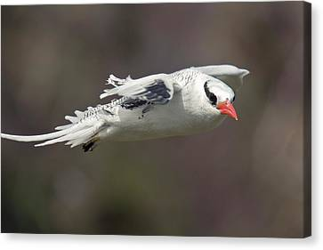 Red-billed Tropicbird In Flight Canvas Print