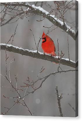 Red Bird Canvas Print by Coby Cooper