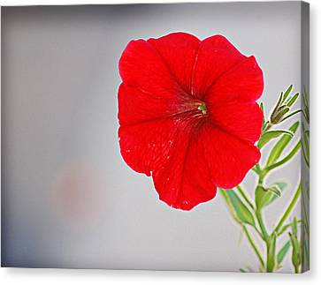 Canvas Print featuring the photograph Red Blossom by Linda Brown
