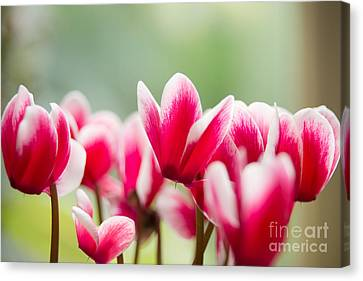 Red Blossoms Canvas Print by Ivy Ho