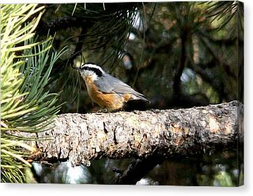 Red-breasted Nuthatch In Pine Tree Canvas Print by Marilyn Burton