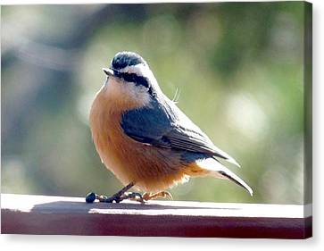 Red-breasted Nuthatch Canvas Print by Marilyn Burton