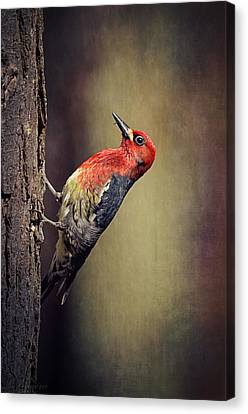 Red-breasted Sapsucker  Canvas Print