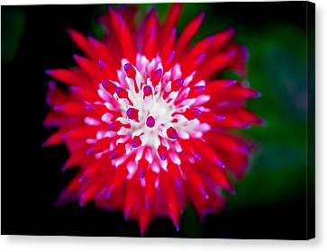 Red Bromeliad Painted Canvas Print by Rich Franco