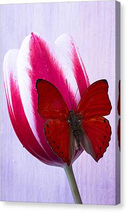 Red Butterfly On Red And White Tulip Canvas Print by Garry Gay