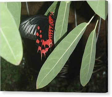 Canvas Print featuring the photograph Red Butterfly by Robert Nickologianis