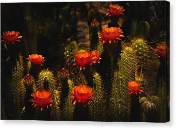 Red Cactus Flowers  Canvas Print by Saija  Lehtonen