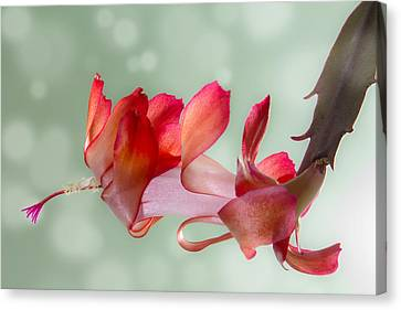 Red Christmas Cactus Bloom Canvas Print