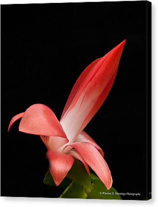 Red Christmas Cactus Canvas Print