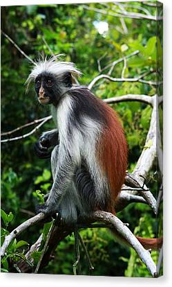 Mangrove Forest Canvas Print - Red Colobus Monkey by Aidan Moran