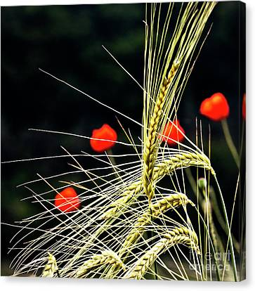 Red Corn Poppies Canvas Print by Heiko Koehrer-Wagner