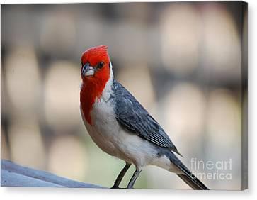 Red Crested Cardinal Canvas Print by DejaVu Designs