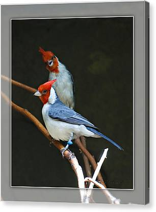 Red-crested Cardinal Canvas Print