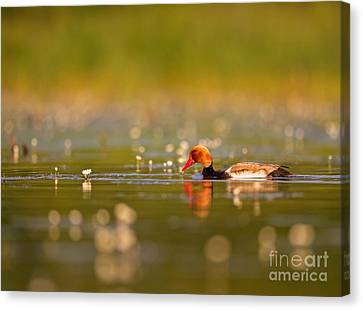 Red-crested Pochard Canvas Print