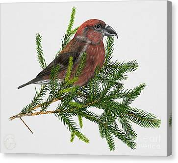 Crossbill Canvas Print - Red Crossbill -common Crossbill Loxia Curvirostra -bec-crois Des Sapins -piquituerto -krossnefur  by Urft Valley Art