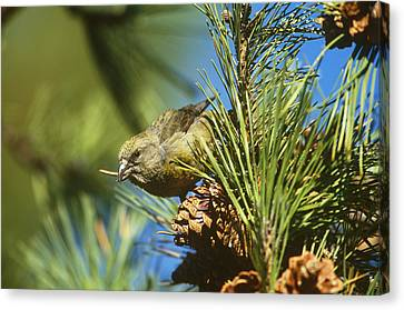 Red Crossbill Eating Cone Seeds Canvas Print by Paul J. Fusco