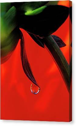 Red Dahlia In A Dew Drop Canvas Print by Jaynes Gallery