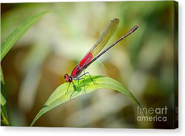 Red Damselfly Canvas Print by Peggy Franz