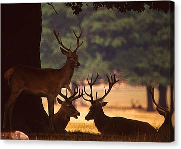 Rack Canvas Print - Red Deer Conference by Anthony Dalton