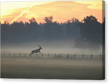 Red Deer Stag Jumping Fence Canvas Print by Ton Schenk