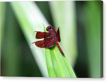 Canvas Print featuring the photograph Red Dragon by Shoal Hollingsworth