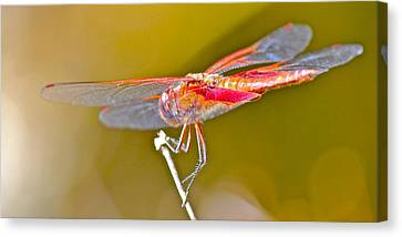 Red Dragonfly Canvas Print by Cyril Maza