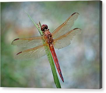 Canvas Print featuring the photograph Red Dragonfly by Linda Brown