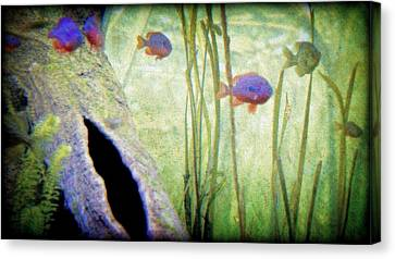 Red Eared Bluegills Canvas Print by Rosemarie E Seppala