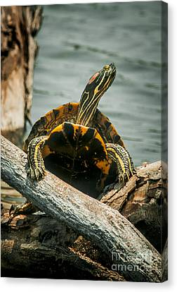 Red Eared Slider Turtle Canvas Print by Robert Frederick