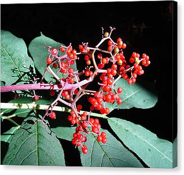Red Elderberry Canvas Print by Cheryl Hoyle