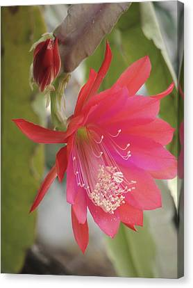Red Epiphyllum Study Canvas Print