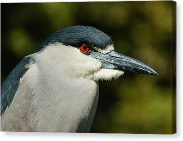 Canvas Print featuring the photograph Red Eye - Black-crowned Night Heron Portrait by Georgia Mizuleva