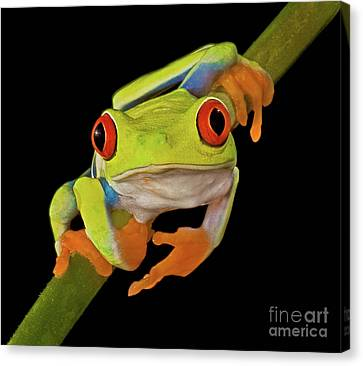 Red Eye Tree Frog Canvas Print by Susan Candelario