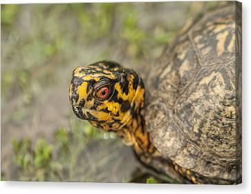 Red Eyed Alabama Box Turtle - Terrapene Carolina Canvas Print by Kathy Clark