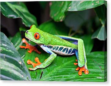 Red-eyed Tree Frog (agalychnis Canvas Print by Susan Degginger