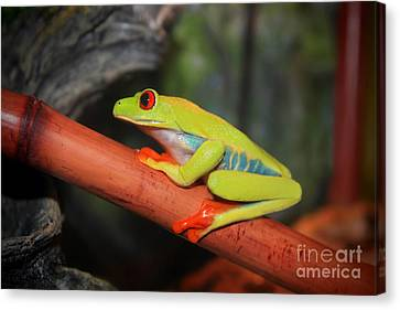Canvas Print featuring the photograph Red Eyed Tree Frog by Cathy  Beharriell