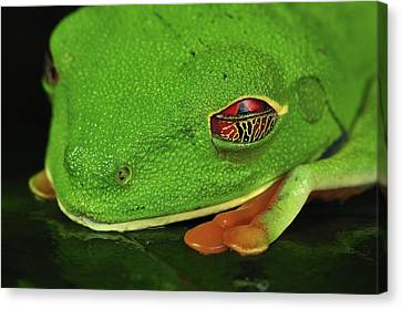 Red-eyed Tree Frog Closing Eyelid Costa Canvas Print